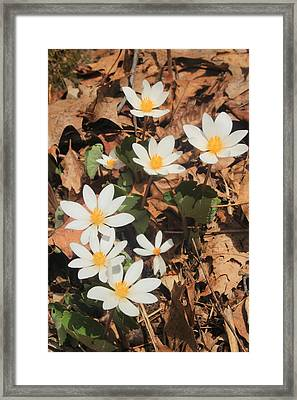 Bloodroot Wildflowers Framed Print by John Burk