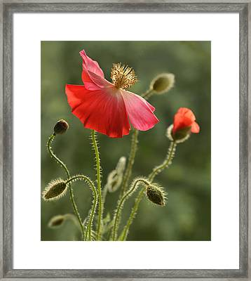 Bloody Red Poppies Framed Print by Jaroslaw Blaminsky
