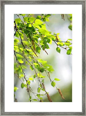 Blooming Birch Tree At Spring Framed Print by Jenny Rainbow