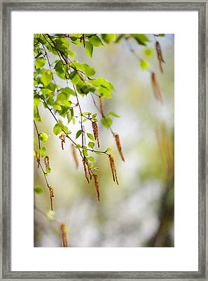 Blooming Birch Tree Framed Print by Jenny Rainbow