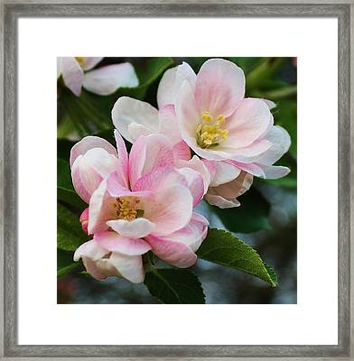 Blooming Crabapple Tree Framed Print by Bruce Bley