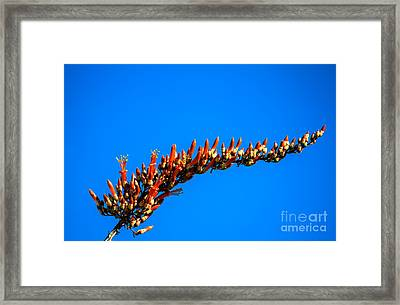 Blooming Ocotillo Framed Print by Robert Bales
