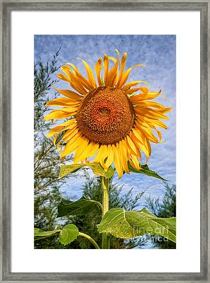 Blooming Sunflower V2 Framed Print by Adrian Evans