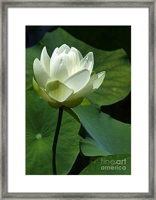 Blooming White Lotus Framed Print by Sabrina L Ryan