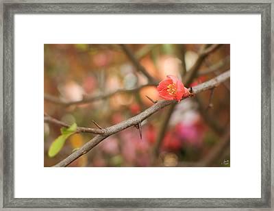 Blossom Amidst The Thorns Framed Print by Lisa Knechtel