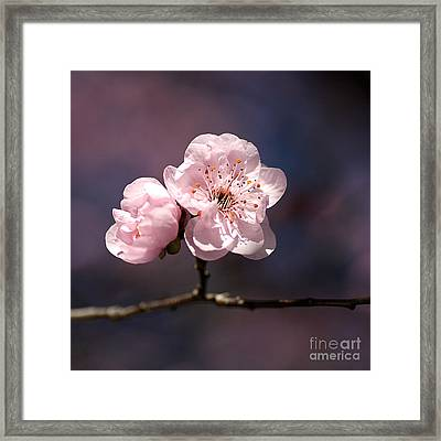 Blossom Framed Print by Joy Watson