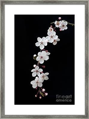 Blossom On Black Framed Print by Tim Gainey