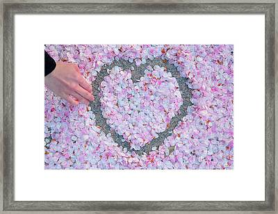 Blossoms Of Love - Cherry Blossoms 2013 - 071 Framed Print by Metro DC Photography