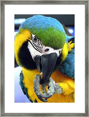 Blue And Gold Macaw With A Peanut Framed Print by  Andrea Lazar