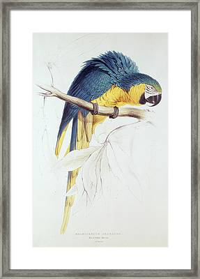 Blue And Yellow Macaw Framed Print by Edward Lear