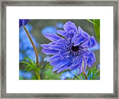 Blue Anemone Flower Blowing In The Wind Framed Print by Eva Kondzialkiewicz