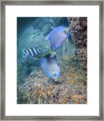 Blue Angelfish Feeding On Coral Framed Print by Michael Wood