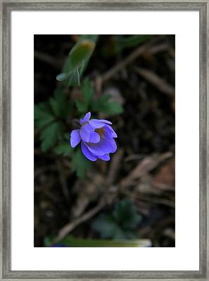 Blue Beauty Framed Print by Paula Tohline Calhoun
