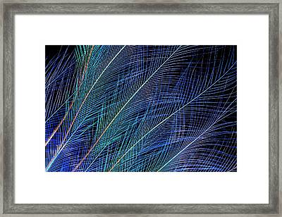 Blue, Bird Of Paradise Top Knot Feathers Framed Print by Darrell Gulin