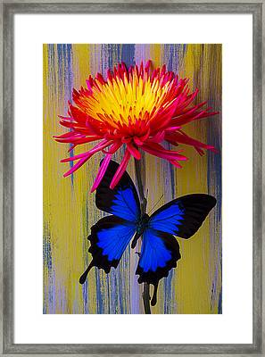 Blue Butterfly On Fire Mum Framed Print by Garry Gay