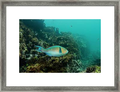 Blue-chin Parrotfish (scarus Ghobban Framed Print by Pete Oxford