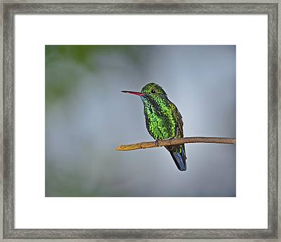 Blue-chinned Sapphire  Framed Print by Tony Beck