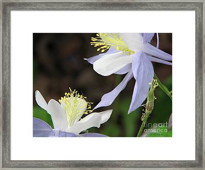 Blue Columbine Framed Print by Roxy Riou