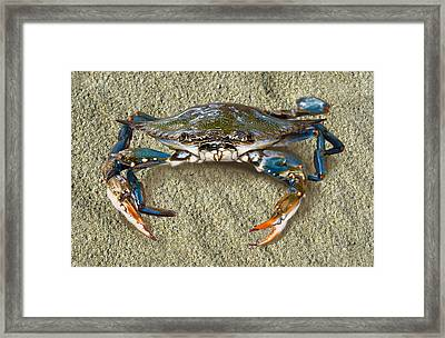 Blue Crab Confrontation Framed Print by Sandi OReilly