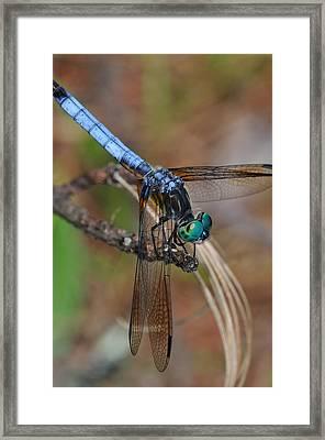 Blue Dasher 2 Framed Print by J Scott Davidson