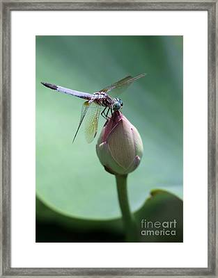 Blue Dragonflies Love Lotus Buds Framed Print by Sabrina L Ryan