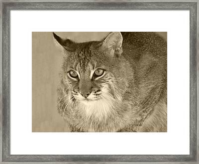 Blue Eyed Bobcat-sepia Framed Print by Jennifer  King