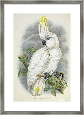 Blue-eyed Cockatoo Framed Print by William Hart
