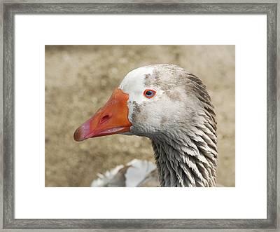 Blue-eyed Goose Framed Print by Bob and Jan Shriner