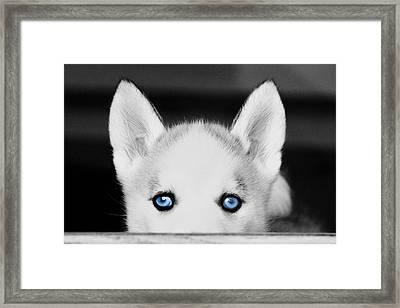 Blue Eyed Huskie Framed Print by Susan Stone