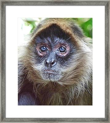 Blue Eyed Spider Monkey Framed Print by Margaret Saheed