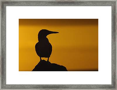 Blue-footed Booby At Sunset Galapagos Framed Print by Pete Oxford