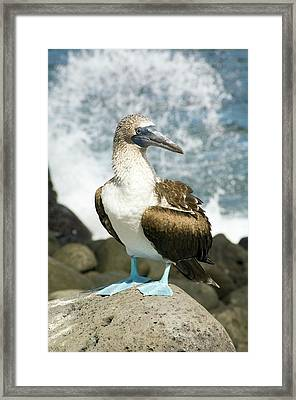 Blue-footed Booby Framed Print by Daniel Sambraus