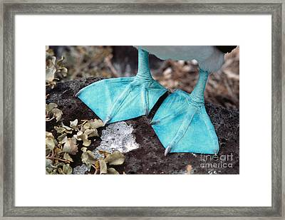 Blue-footed Booby Feet Framed Print by Ron Sanford