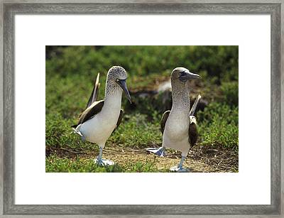 Blue-footed Booby Pair In Courtship Framed Print by Tui De Roy