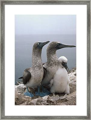 Blue-footed Booby Pair With Chick Framed Print by Tui De Roy