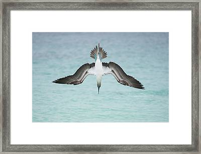 Blue-footed Booby Plunge Diving Framed Print by Tui De Roy