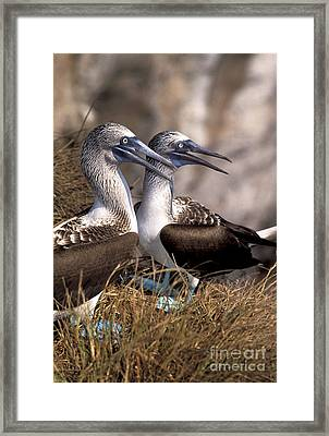 Blue-footed Booby Framed Print by Ron Sanford