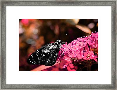 Blue Glassy Tiger Butterfly Framed Print by Marianna Mills