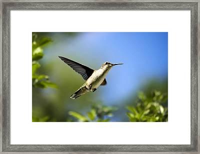 Blue Green Hummingbird Art Framed Print by Christina Rollo