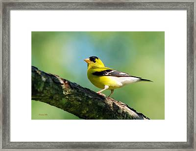 Blue Heart Goldfinch Framed Print by Christina Rollo