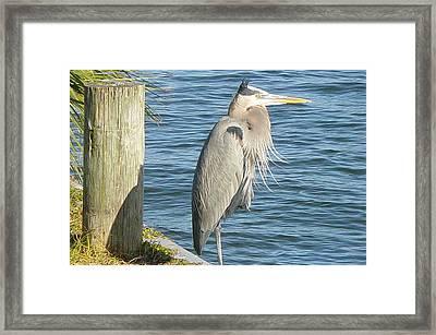 Blue Heron Framed Print by Becky Sterling