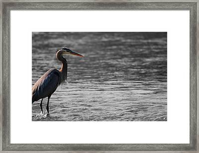Blue Heron  Framed Print by Dan Sproul