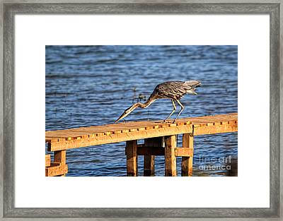 Blue Heron Dragonfly Lunch Framed Print by Cathy  Beharriell