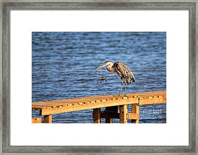 Blue Heron Spies The Dragonfly Framed Print by Cathy  Beharriell