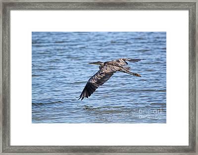 Blue Heron Water Flight Framed Print by Cathy  Beharriell