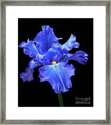 Blue Iris Framed Print by Robert Bales