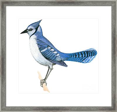 Blue Jay  Framed Print by Anonymous