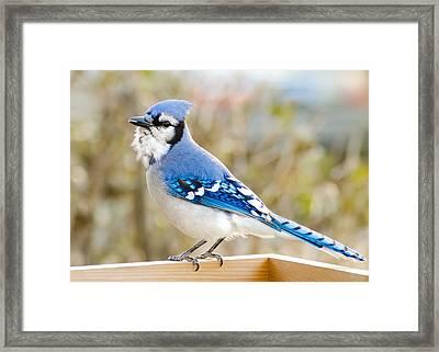 Blue Jay Framed Print by Jim Hughes