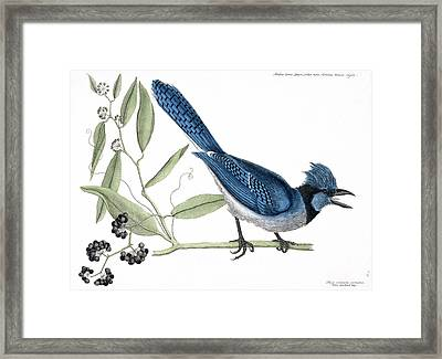 Blue Jay Framed Print by Natural History Museum, London