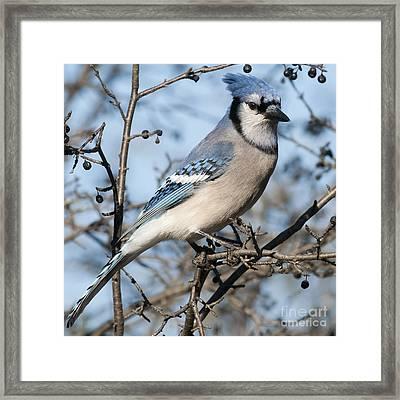 Blue Jay.. Framed Print by Nina Stavlund